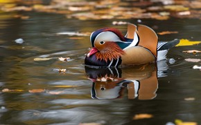 Picture autumn, leaves, water, pond, reflection, bird, duck, duck, pond, swimming, bright plumage, tangerine