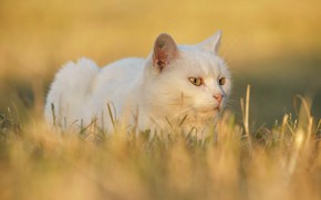 Picture cat, white, grass, cat, look, face, light, yellow, nature, pose, background, portrait, lies, white, yellow …