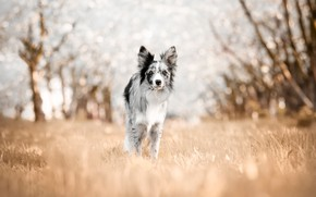 Picture autumn, grass, look, light, trees, nature, glare, glade, dog, spring, walk, is, bokeh, the border …