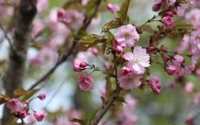 Picture flowers, cherry, branch, spring, Sakura, pink, flowering