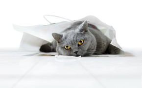 Picture cat, cat, look, pose, package, bag, face, British