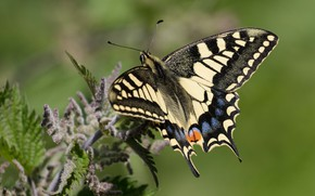 Picture summer, macro, butterfly, insect, green background, swallowtail, nettle