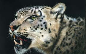 Picture look, face, animal, predator, leopard, grin, black background