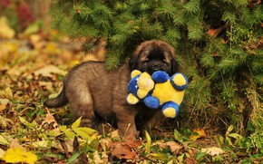 Picture autumn, leaves, branches, nature, toy, dog, puppy, needles, Leonberger
