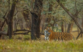 Picture forest, nature, tiger, walk