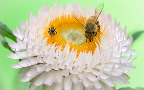 Picture flower, insects, bees, Fleur Walton