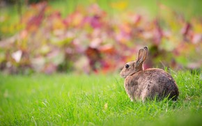Picture greens, grass, nature, grey, background, lawn, glade, hare, Bunny, lawn, bokeh
