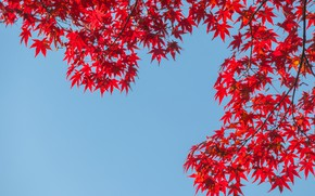 Picture autumn, the sky, leaves, colorful, red, maple, autumn, leaves, autumn, maple