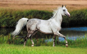 Picture field, white, summer, grass, look, face, nature, river, grey, background, horse, shore, horse, stallion, spring, …