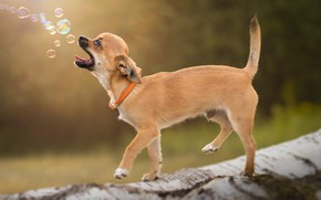 Picture background, bubbles, collar, log, doggie, Chihuahua, dog