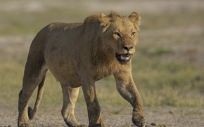 Picture nature, lioness, DUELL ©