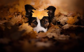 Picture autumn, look, face, dog, leaf, fallen leaves