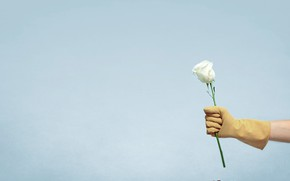 Picture flower, rose, hand