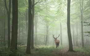 Picture forest, trees, fog, deer, horns