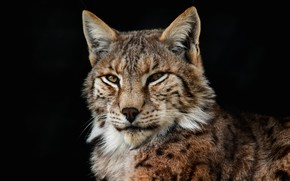 Picture cat, look, face, the dark background, portrait, lynx, wild cat