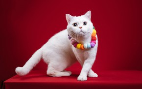 Picture cat, cat, pose, paws, beads, white, decoration, red background, photoshoot, British, Flirty, fotomodel
