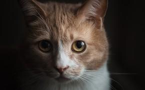 Picture cat, look, portrait, muzzle, the dark background