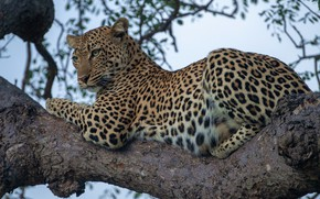 Picture leopard, wild cat, on the tree