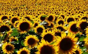 Picture field, summer, light, sunflowers, flowers, nature, yellow, petals, bright, a lot, sunflower, plantation, field of …