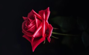 Picture red, rose, flower, plant, close up, bloom