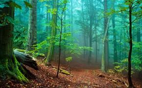 Picture trees, fog, photo, trunks, foliage