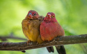 Picture birds, background, branch, a couple, Common amaranth