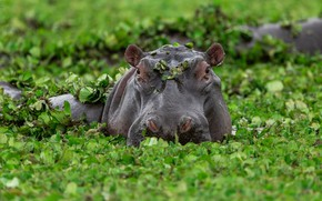 Picture greens, face, leaves, swamp, bathing, Hippo, Africa, pond