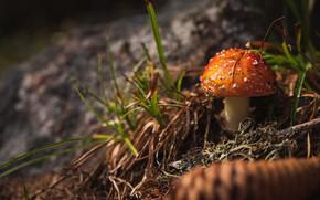 Picture forest, grass, orange, the dark background, mushroom, mushroom, bump, bokeh