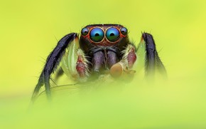 Picture eyes, macro, fly, black, spider, green background, jumper, jumper, spider, jumping spider, членистоногое