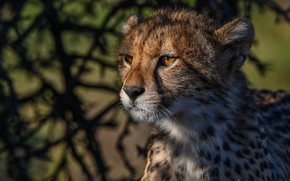 Picture face, portrait, Cheetah, wild cat