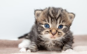 Picture cat, kitty, grey, baby, white background, kitty, striped, cutie, British