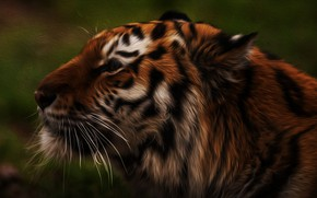 Picture face, tiger, background •