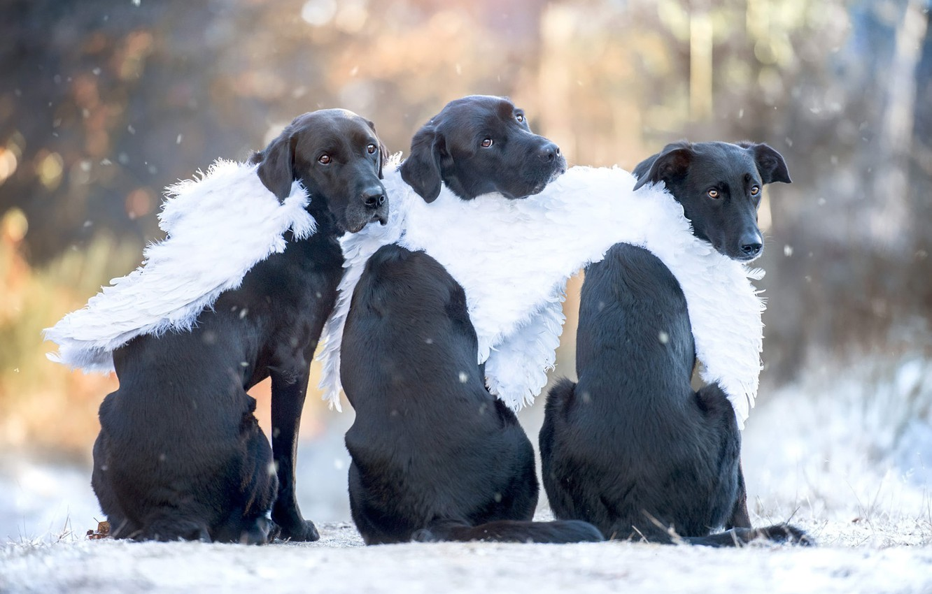 Photo wallpaper winter, autumn, dogs, look, light, snow, nature, pose, Park, back, portrait, wings, dog, angel, angels, …
