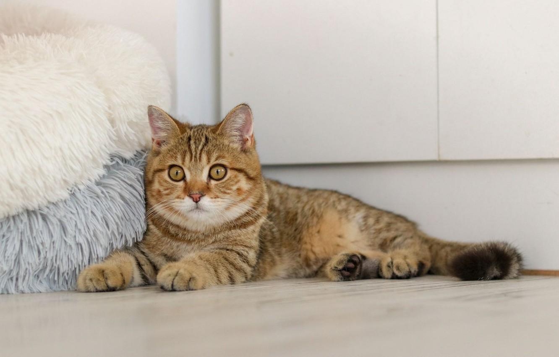 Photo wallpaper Ottomans, lying on the floor, tabby cat