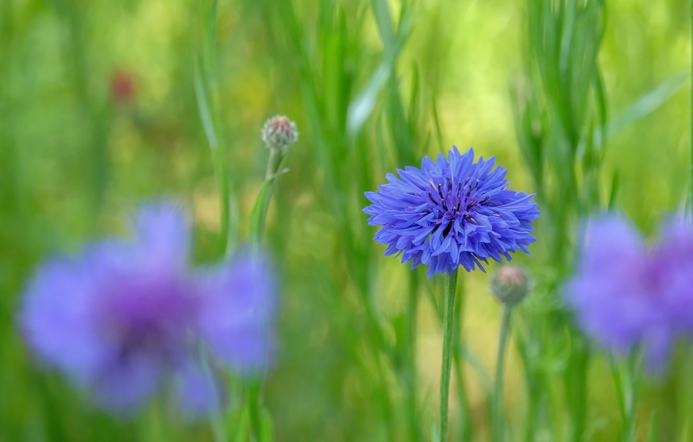 Photo wallpaper greens, summer, flowers, glade, blur, meadow, blue, blue, cornflower, bokeh, cornflowers, cornflower