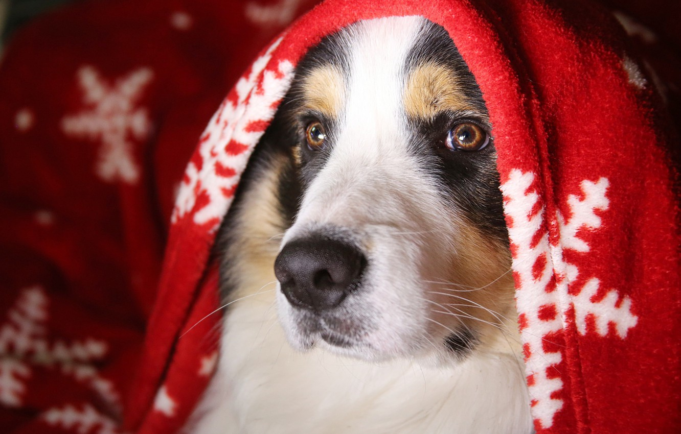 Photo wallpaper winter, look, face, snowflakes, comfort, heat, portrait, dog, blanket, plaid, spotted
