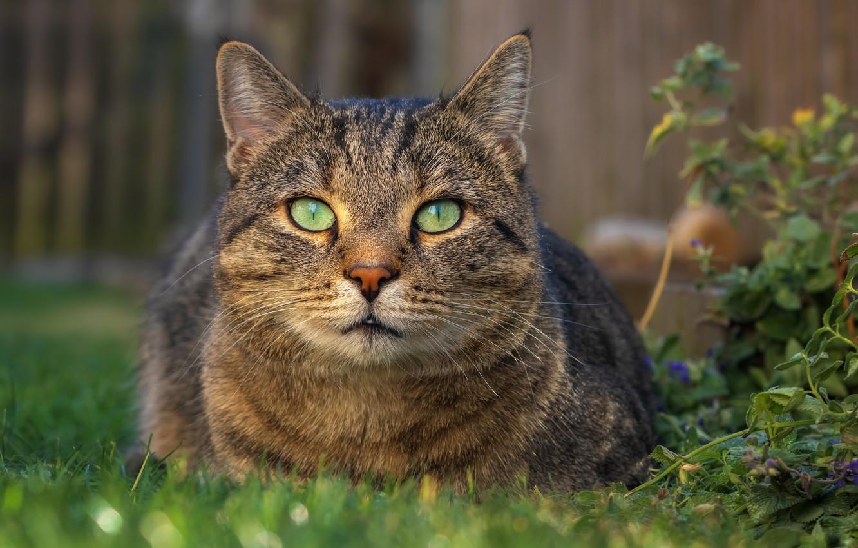 Photo wallpaper cat, look, nature, grey