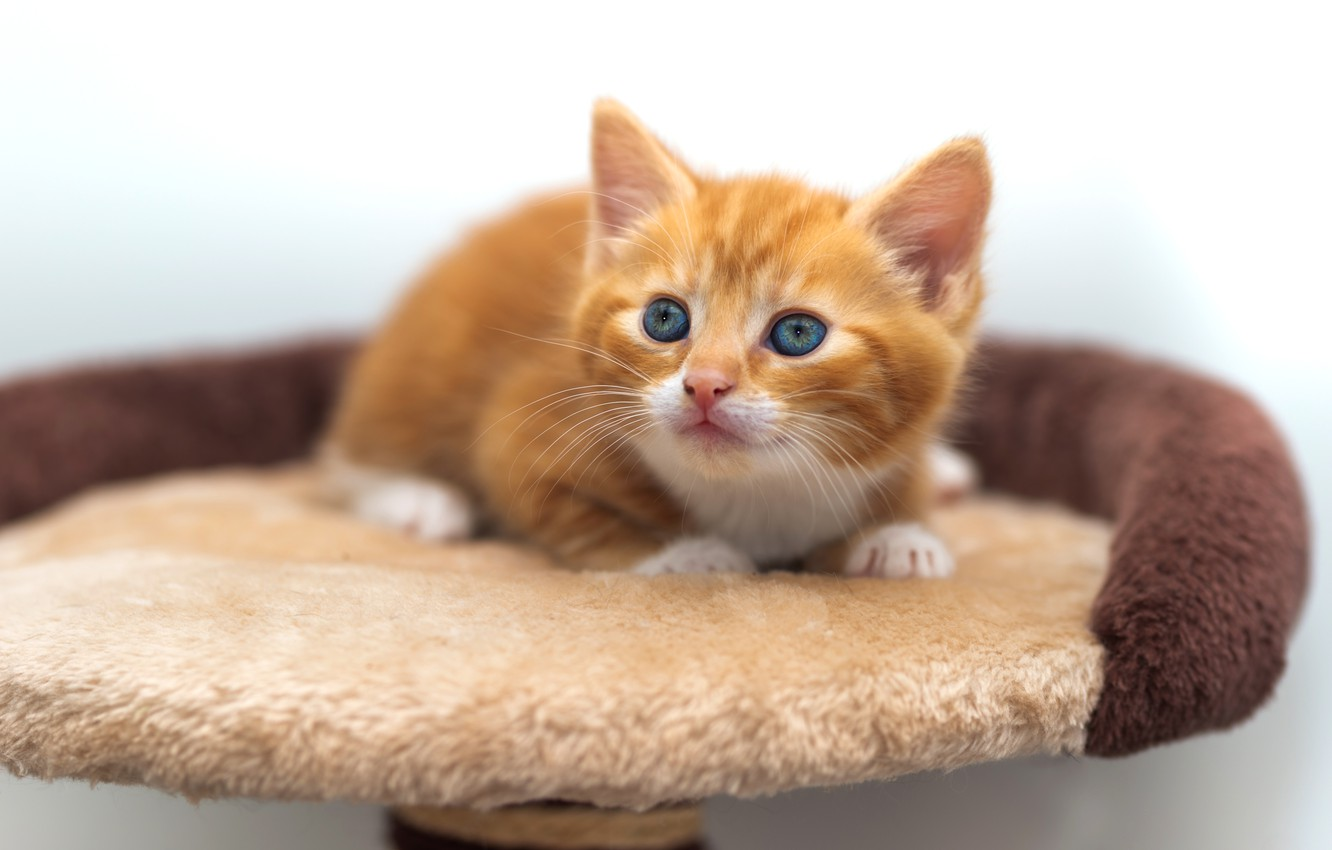 Photo wallpaper cat, pose, baby, red, lies, kitty, light background, cutie, blue-eyed, bench
