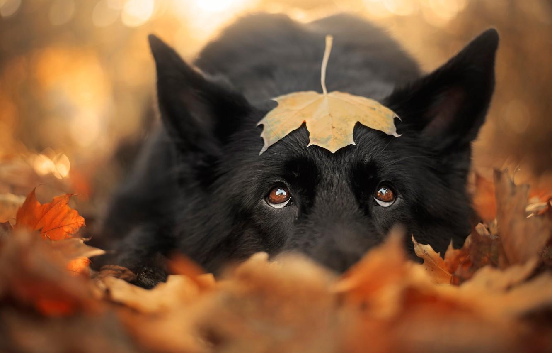 Photo wallpaper sadness, autumn, eyes, look, face, leaves, close-up, nature, sheet, background, mood, foliage, leaf, portrait, dog, …
