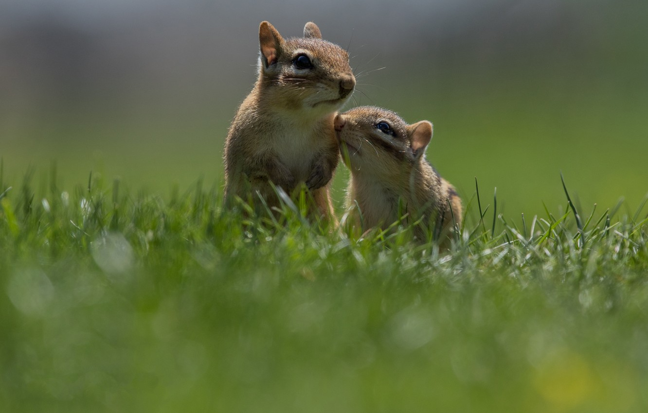 Photo wallpaper grass, pose, Chipmunk, a couple, two, stand, faces, chipmunks