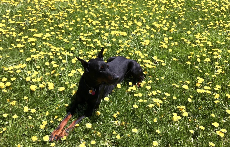 Photo wallpaper grass, Doberman, dandelions