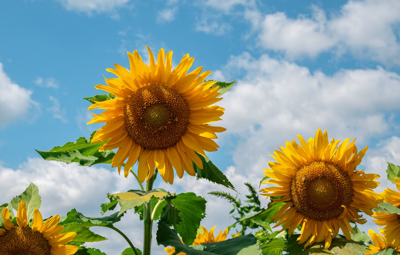 Photo wallpaper the sky, clouds, sunflowers
