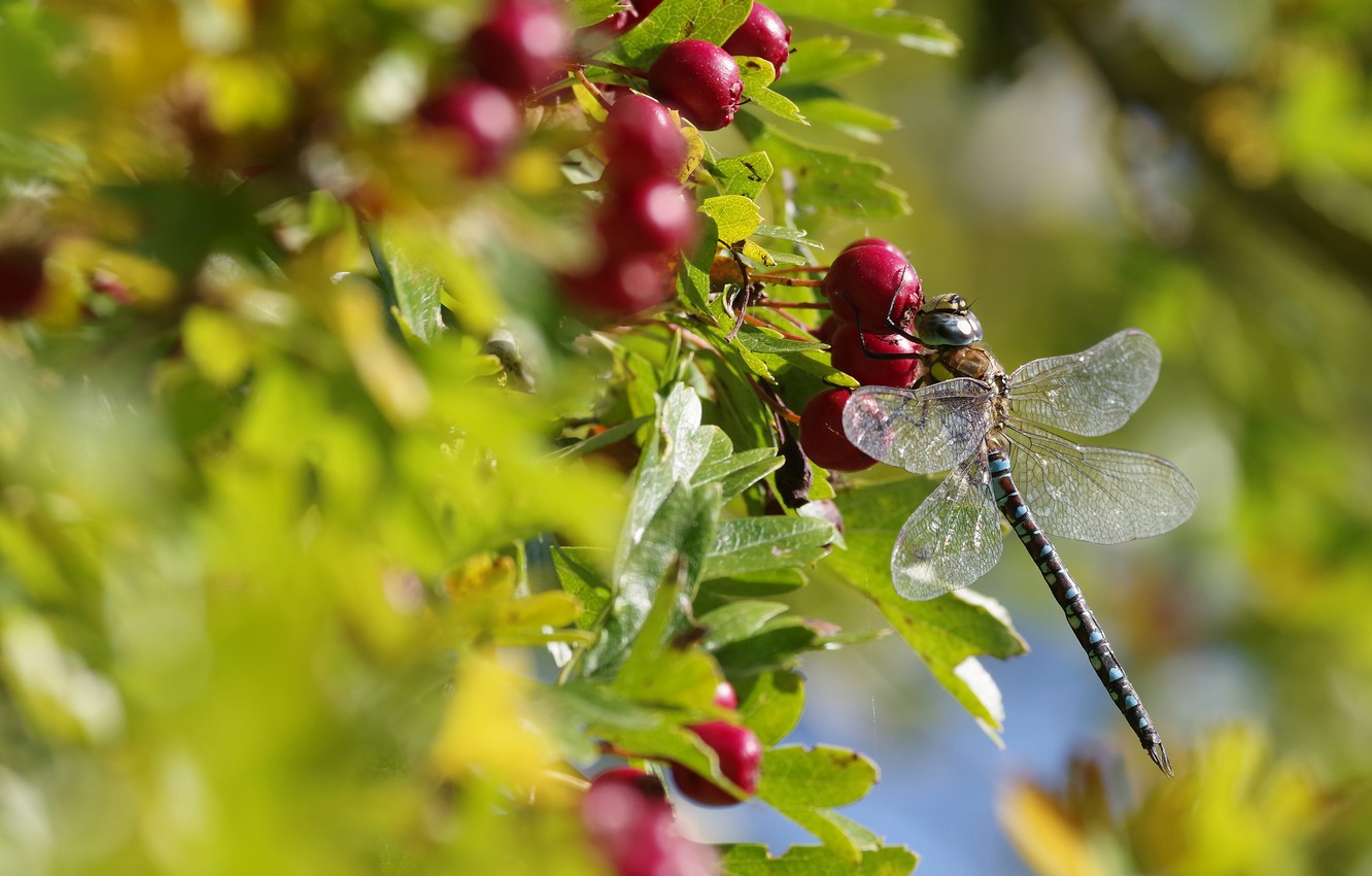 Photo wallpaper autumn, summer, leaves, macro, light, berries, blur, dragonfly, fruit, red, insect, bokeh, hawthorn