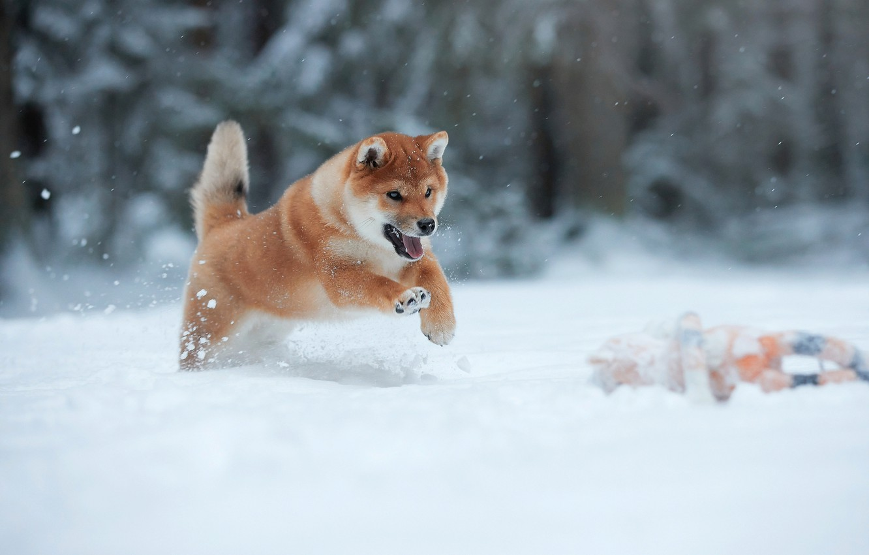Photo wallpaper winter, snow, animal, jump, dog, running, puppy, dog, Lana Polyakova