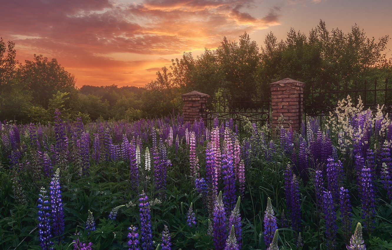 Photo wallpaper summer, landscape, sunset, flowers, nature, the evening, the fence, lupins