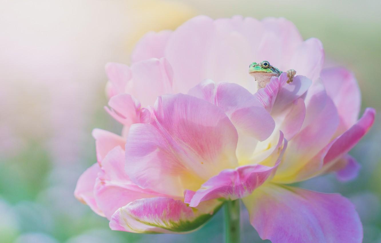 Photo wallpaper flower, macro, pink, frog, spring, petals, green, peony