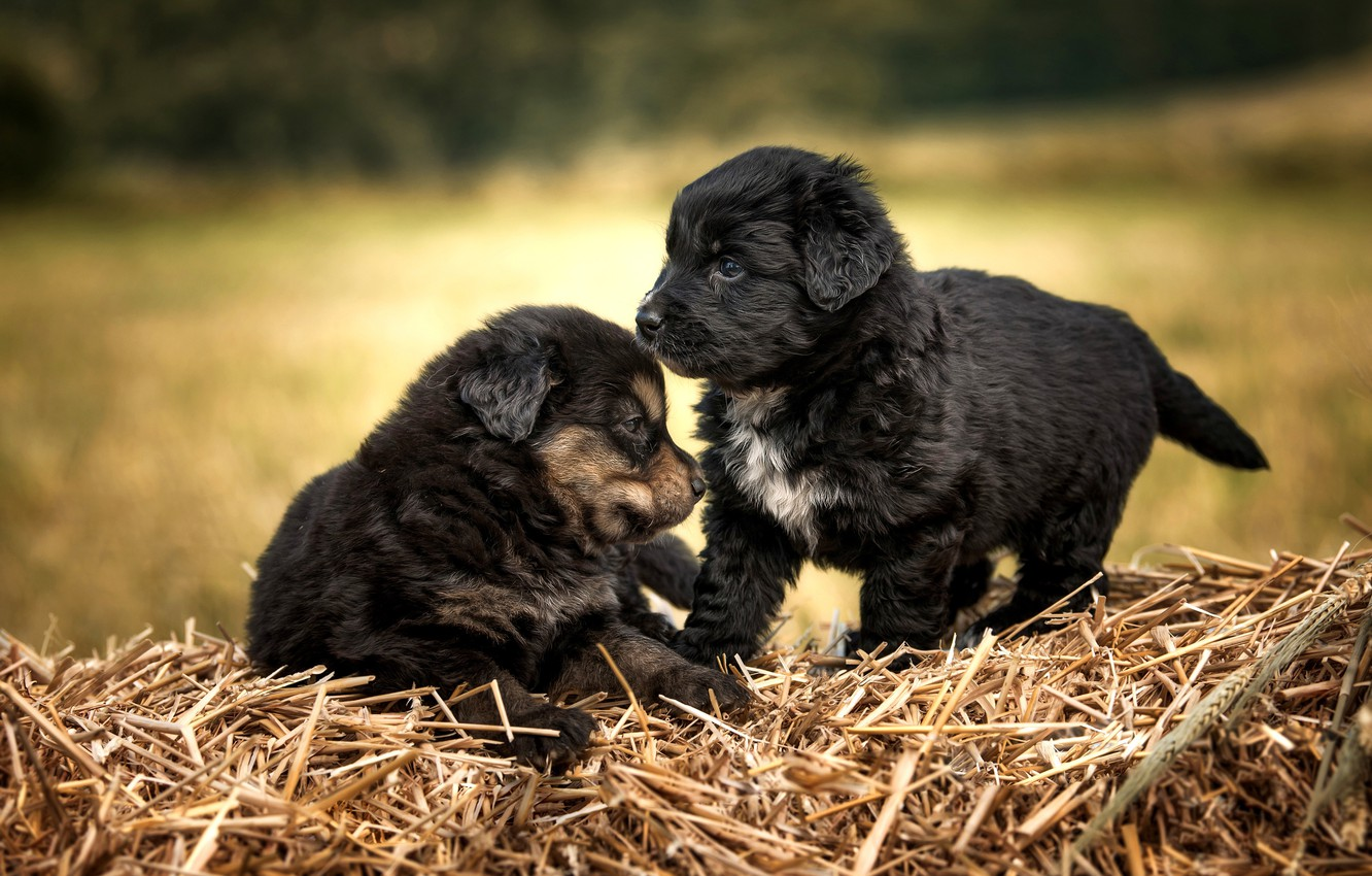 Photo wallpaper dogs, puppies, a couple, black, two puppies