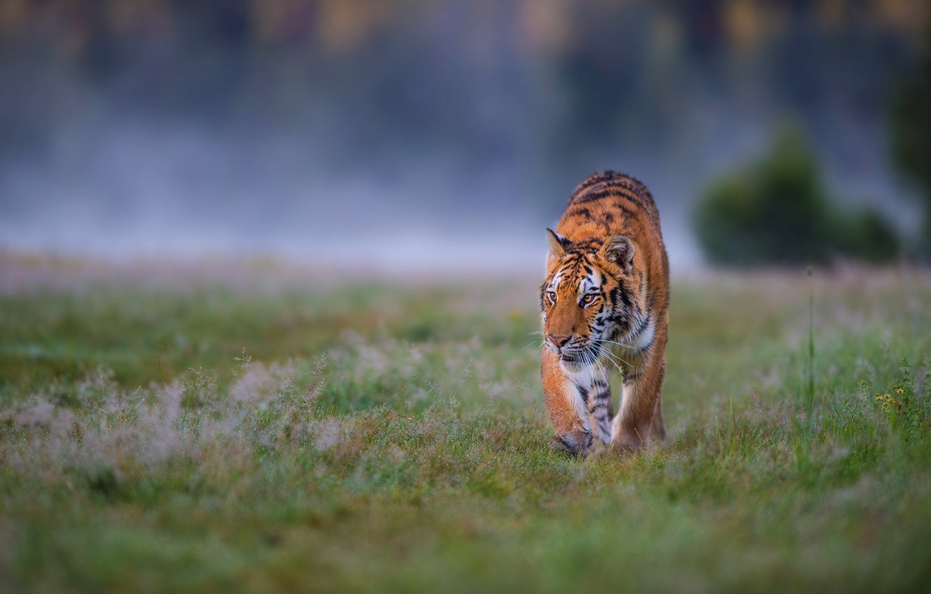 Photo wallpaper field, grass, look, nature, tiger, pose, fog, background, glade, morning, hunting, walk, wild cat, sneaks