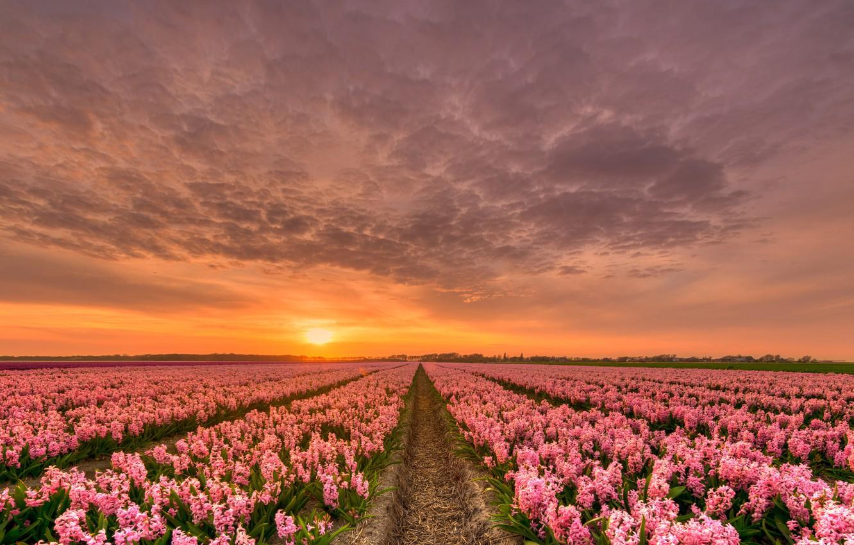 Photo wallpaper the sky, clouds, sunset, flowers, field, the evening, horizon, Netherlands, hyacinths