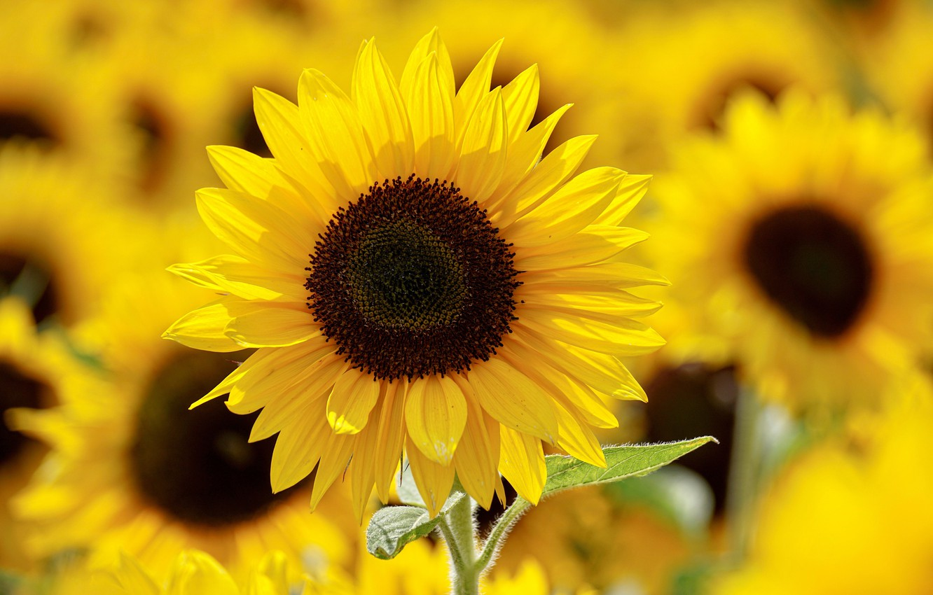 Photo wallpaper Beautiful, Blooming, Sunflowers, Bloom
